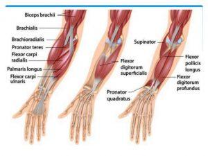 Anatomy of the forearm